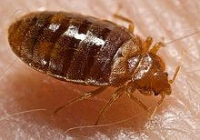 Pest Control Solutions – Bed Bugs