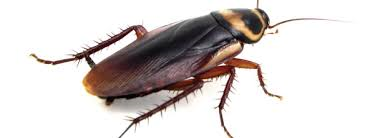 Pest Control Solutions – Cockroaches