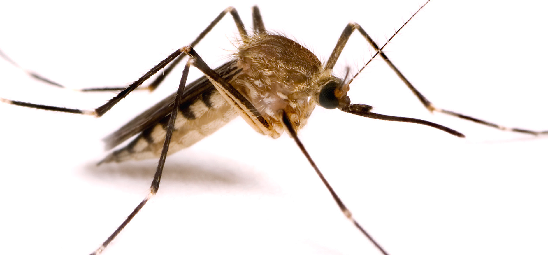 Mosquitoes and Malaria control